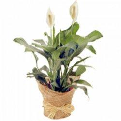 Flowers ספטיפיליום