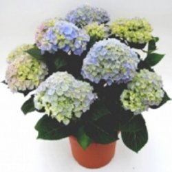Flowers הורטנזיה